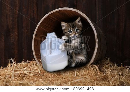 Maincoon Kitten With a Small Gallon of Milk