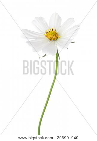 White Cosmos flower  isolated on white background. Garden Cosmos