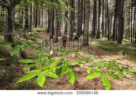 lighting chestnut leaves on blurred background man walking in a forest pines of Etna Park, Sicily