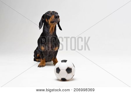cute portrait of a dog (puppy) breed dachshund black tan with soccer (football) ball on gray background
