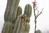 A squirrel resting on a cactus plant. Focus on the squirrel. poster
