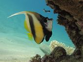 Bannerfish and cleaner wrasse under a coral block in clear blue water poster