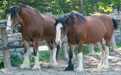 two clydesdale horses standing near a fence poster