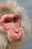 Male Japanese snow monkey (Macaque) portrait. Photo taken in Mountains of Japan red face expressive eye poster