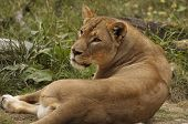 A portrait of resting african lioness looking up poster