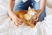 Woman combs a dozing ginger cat's fur. The fluffy pet comfortably settled to sleep. Cute cozy background morning bedtime at home. poster