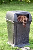 Image of a raccoon halfway inside a garbage receptacle poster