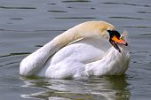 white swan has a wash on water poster