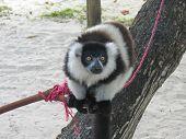 Black and white lemur - Nosy Boraha - Sainte-Marie island - Madagascar. poster