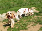 Two English Cocker Spaniel puppies playing at the garden poster