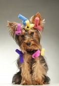 Portrait of young Yorkshire Terrier dog over dark background poster
