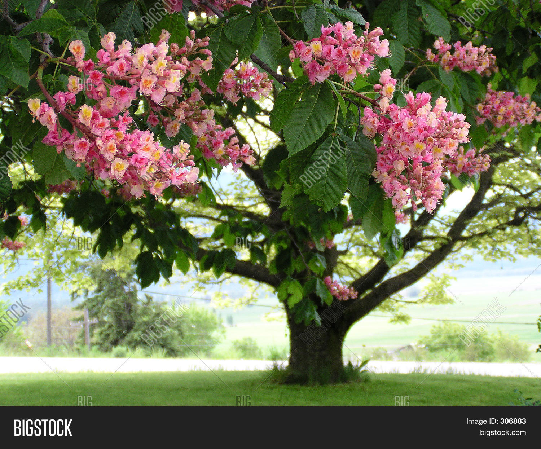 Pink horse chestnut image photo free trial bigstock pink horse chestnut mightylinksfo