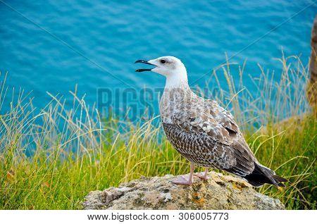 Seagull Bird Standing Feet On Sea Beach. Close Up View Of White Gray Bird Seagull Open Beak In Sea R