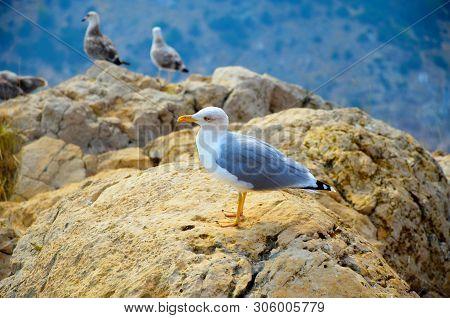 Seagull Bird Standing Feet On Sea Beach. Close Up View Of White Gray Bird Seagull Sitting In Sea Roc