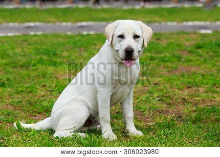 Eautiful Labrador Retriever Puppy Sitting On Grass