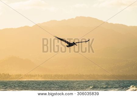 Pelican Flying In Nature In Sunset. Amazing Sunset In Nature. Close Up Of A Pelican In Nature. Pelic