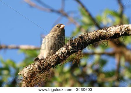 Finch, Galapagos