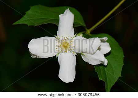Closeup Of White Jasmine Flower Jasminum Officinale With Yellow Stamens And Green Leaves In The Shap