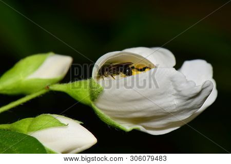 Close-up Of A Small Bee Macropis Fulvipes In A White Jasmine Flower Jasminum Officinale With Green L