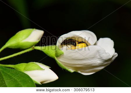 Macro Of A Gray Bee Macropis Fulvipes Jasmine Jasminum Officinale Sleeping In A White Flower With Gr