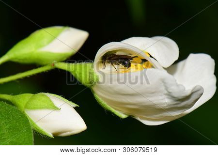 Macro Of A Small Gray Bee Macropis Fulvipes Jasmine Jasminum Officinale Sleeping In A White Flower W