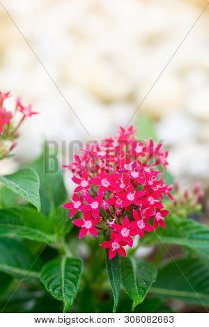 Pentas Lanceolata Or Egyptian Star Cluster Flowers Blooming In Garden.
