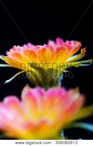 Closeup Beautiful Blooming Lobivia Cactus Flower On Black Background