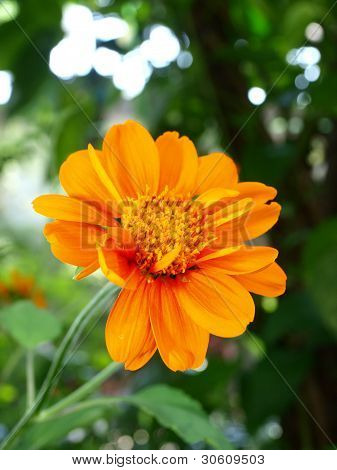 A Close Up Of A Mexican Sunflower