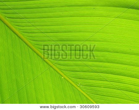 Texture And Detail Of Banana Leaf