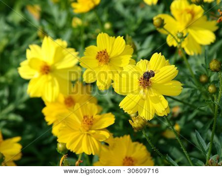 Yellow Flower Of Cosmos