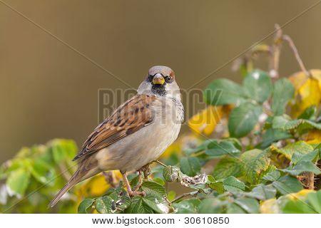 Portrait of a sparrow on a bush close up poster