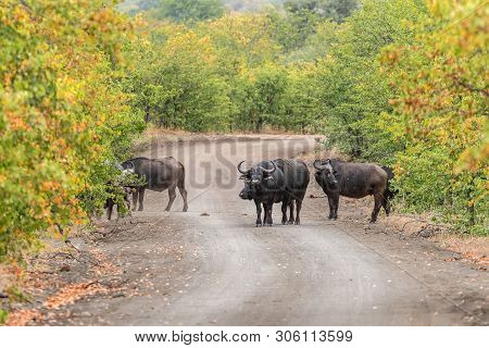Cape Buffaloes, Syncerus Caffer, In A Gravel Road In The Mpumalanga Province Of South Africa
