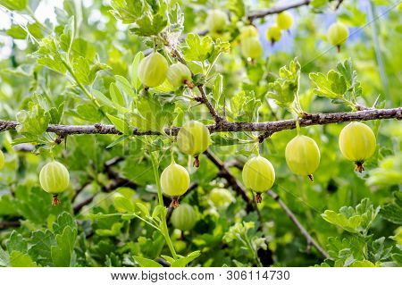 Fresh Green Gooseberries. Growing Organic Berries Closeup On A Branch Of Gooseberry. Ripe Gooseberry