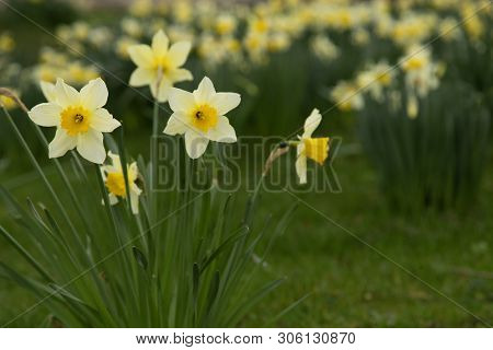 Yellow Golden And White Wild Daffodils Narcissus (narcissus Pseudonarcissus). York, England