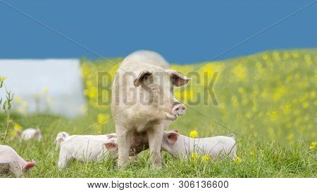 Happy Pigs On A Blossoming Meadow In Spring In Denmark