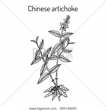 Chinese artichoke stachys sieboldii , eatable and medicinal plant. Hand drawn botanical vector illustration poster