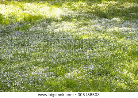 Field Meadow Of Blooming Myosotis Forget-me-nots, Background Wallpaper. Green Meadow With Blooming S