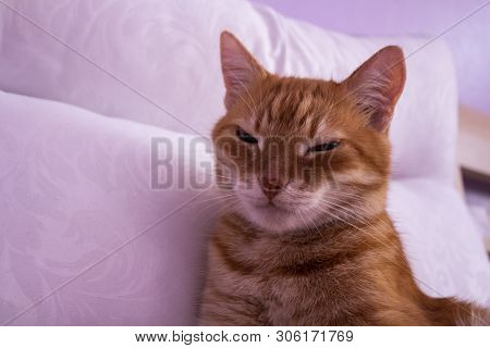 Red Cat Looking Into The Camera. The Cat Is Resting On A White Pillow. Cat's Eyes. Russian Cat On A