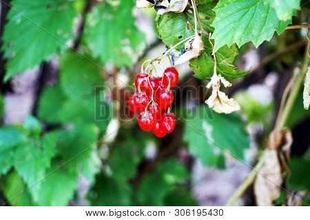 A Cluster Of Ripe Poisonous Red Berries Dangle On A Bittersweet Nightshade Plant (solanum Dulcamara)
