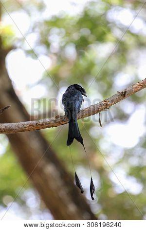 Black Bird ,greater Racket-tailed Drongo On Branch (dicrurus Paradiseus Linnaeus)