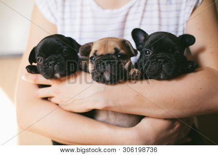 Three Beautiful French Bulldog Puppies Sitting On The Hands Of A Girl. Puppies Are Looking Towards T