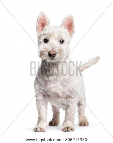 Mixed-breed standing against white background