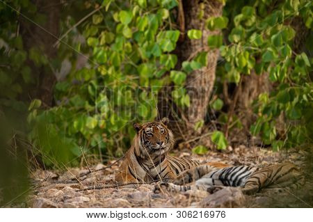 A Mating Pair Of Tigers Resting After Rounds Of Mating Between These Two Tigers At Ranthambore Natio