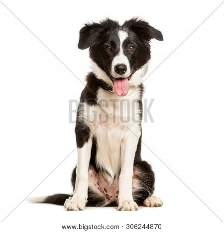 poster of Panting 5 months old puppy border collie dog sitting against white background