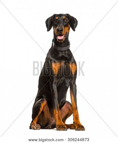 Panting Doberman dog sitting against white background