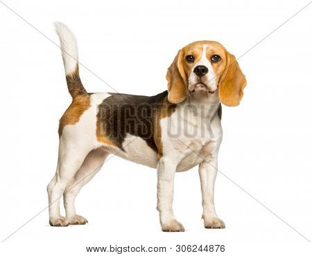 Beagles dog standing against white background