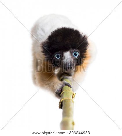 4 months old approaching baby Crowned Sifaka looking at camera against white background