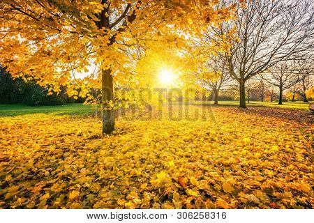Sunny autumn landscape with golden maple trees in the park