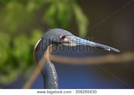 Close up shot of young Great blue heron