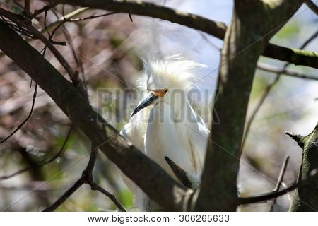 Two baby snow white egrets in the nest